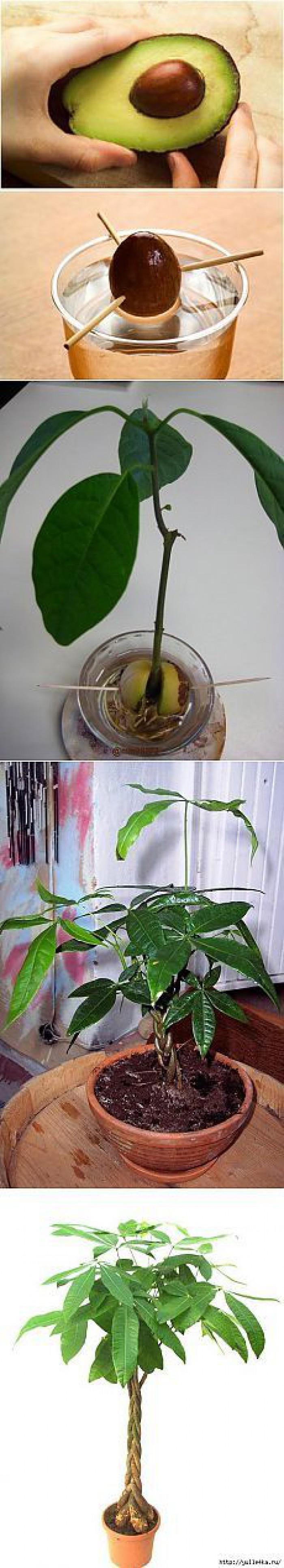 Вицове: Да си отгледаме авокадо от семката