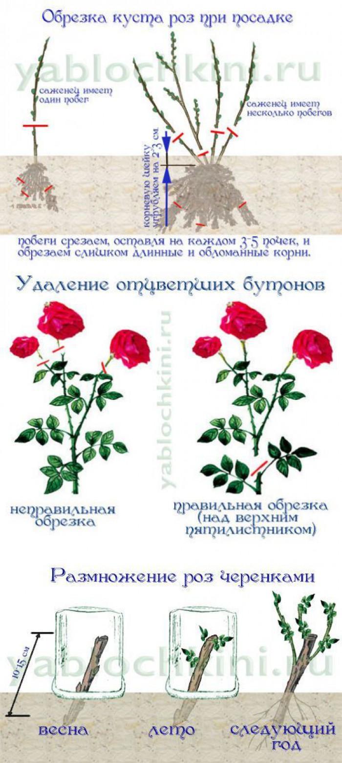 Выращивание садовых роз в открытом грунте: правила ухода, видео обрезки